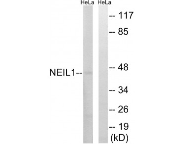 NEIL1 Antibody (OAAF03643) in HeLa using Western blot.